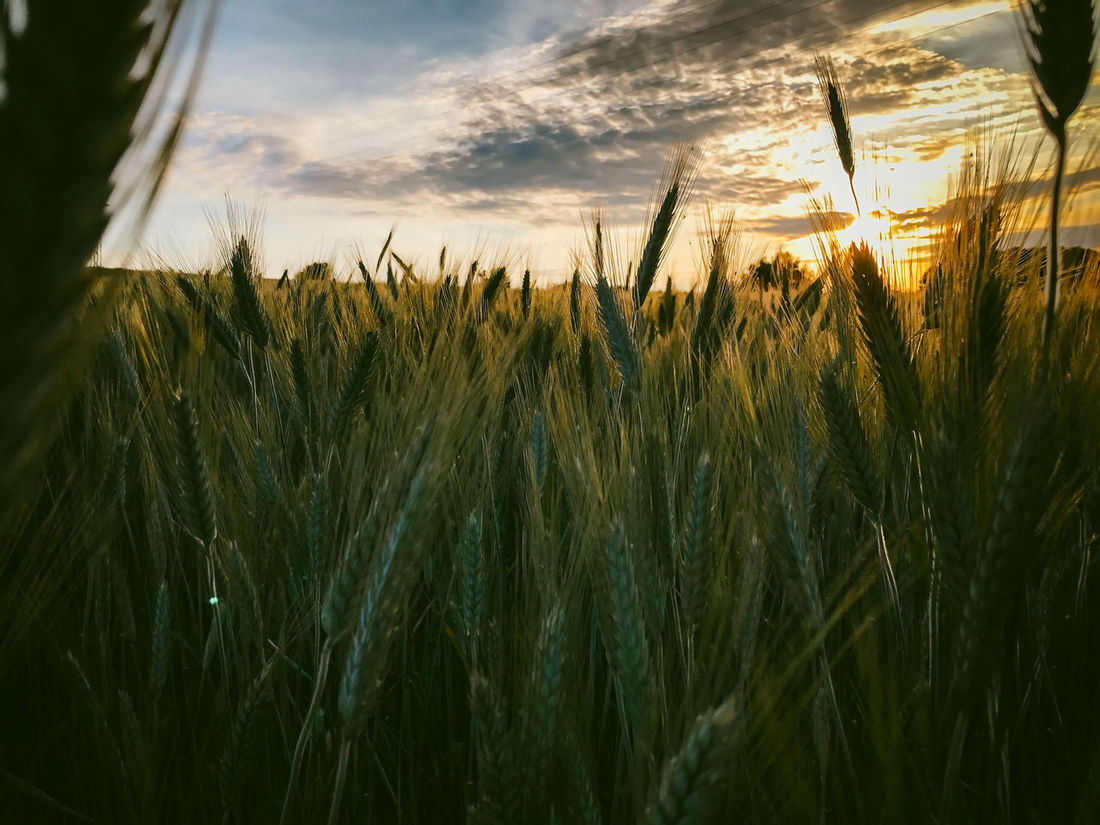 Wheat field Agriculture Beauty In Nature Cereal Plant Close-up Cloud - Sky Crop  Day Ear Of Wheat Farm Field Growth Landscape Nature No People Outdoors Plant Rural Scene Scenics Sky Sunset Tranquility Wheat