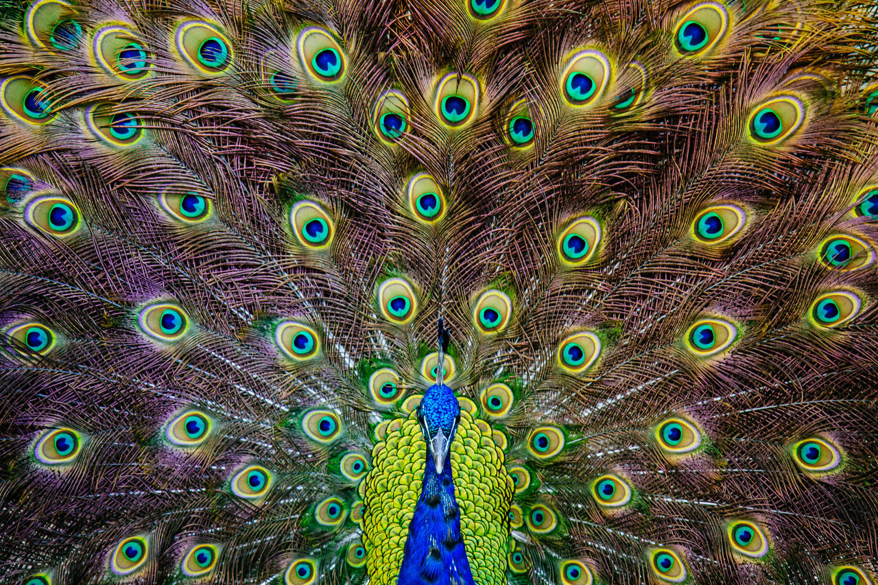 Male peacock showing off his tail feathers Animal Themes Animal Wildlife Animals In The Wild Beauty In Nature Bird Blue Close-up Colorful Day Green Green Color Nature No People One Animal Outdoors Peacock Peacock Feather