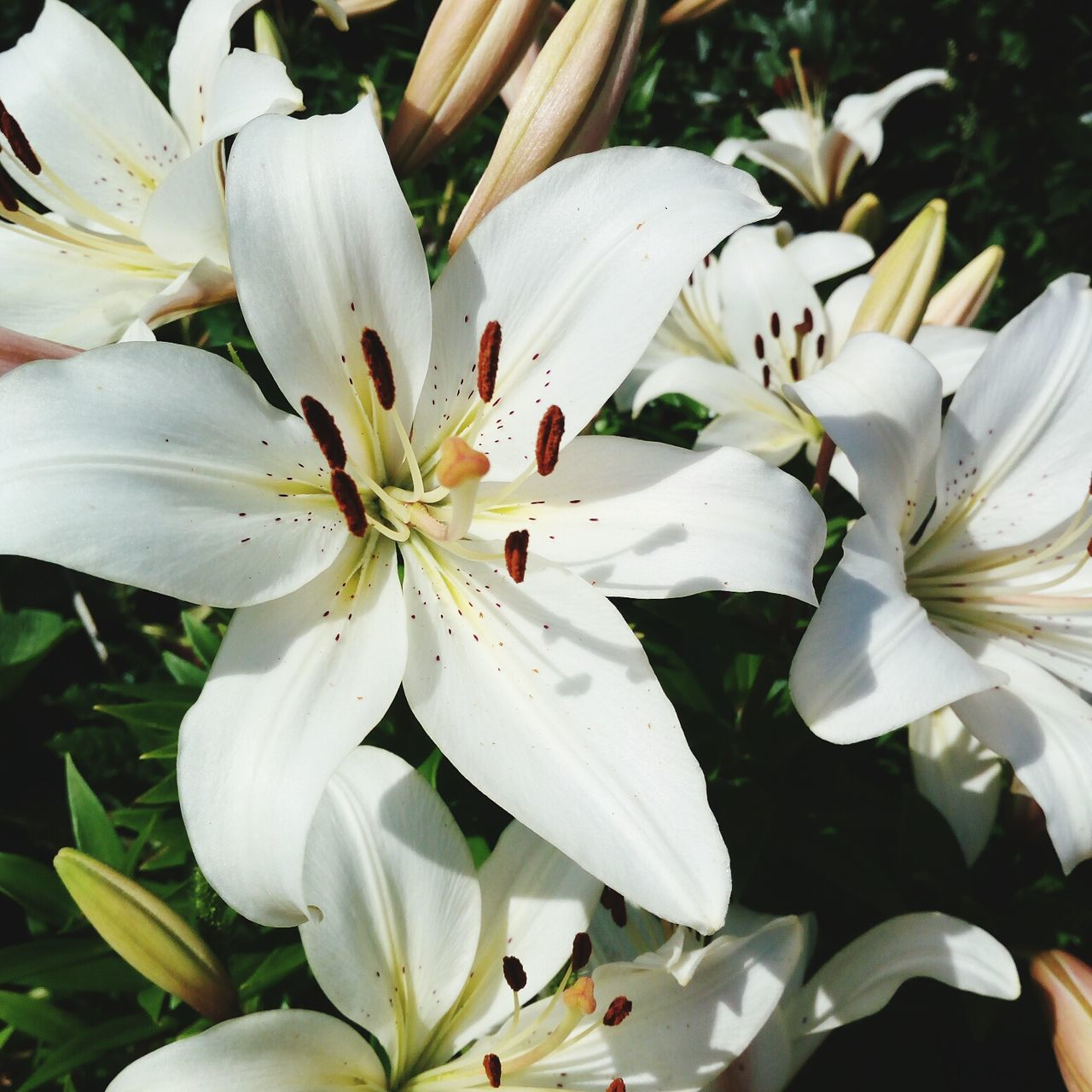 Flower Nature Beauty In Nature Flower Head Petal Fragility Growth No People Outdoors Day Freshness Close-up Springtime Plant Lilies
