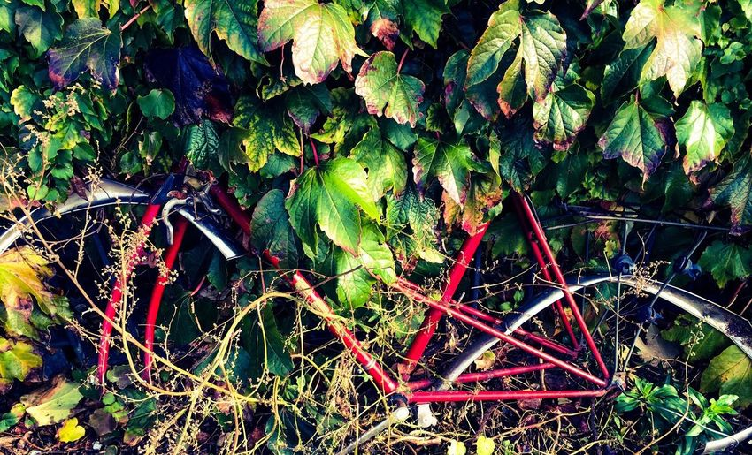 An old Red Bike taken by Nature