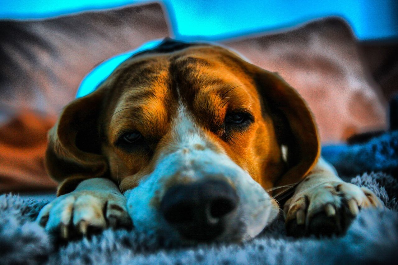 Hund Beagle Beaglelovers Friend Müder Hund Pet Portraits