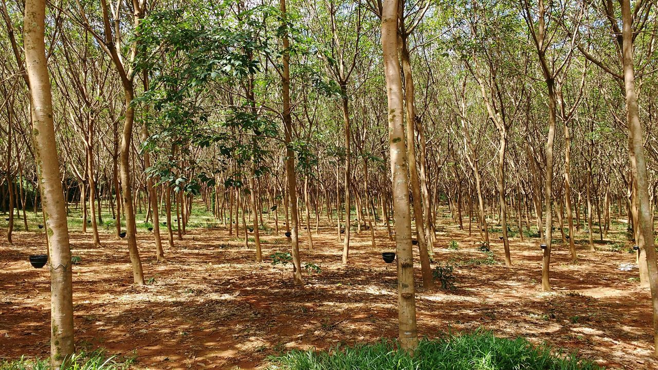 Rubber tapping Tree Outdoors Sunlight Nature Beauty In Nature Rubber Tapping Rubber Trees Thailand Rubber Tree Plantation