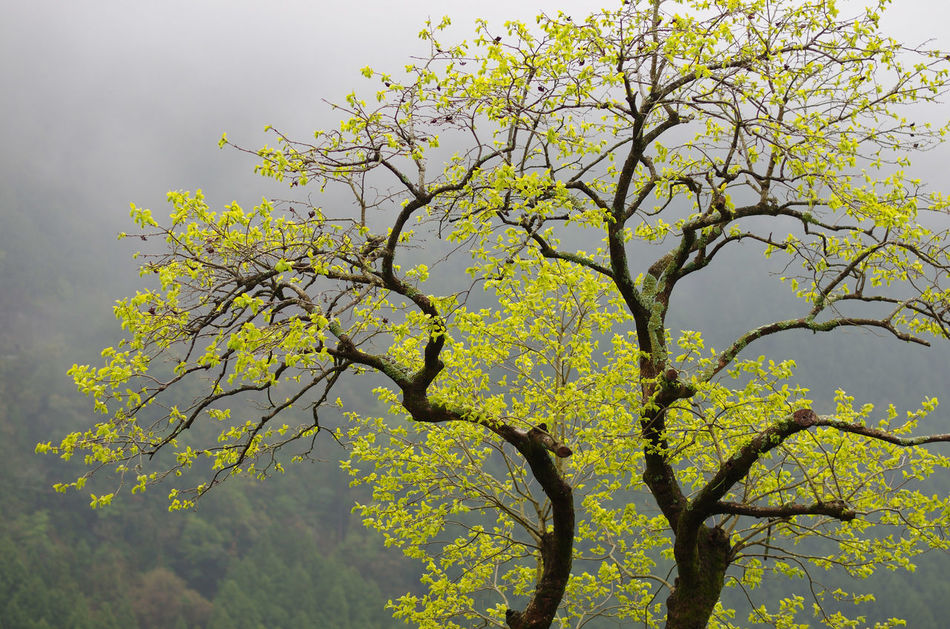 柿の老木も葉っぱlove ! Tree Porn Old Tree Of Persimmon Leaves EyeEm Nature Lover