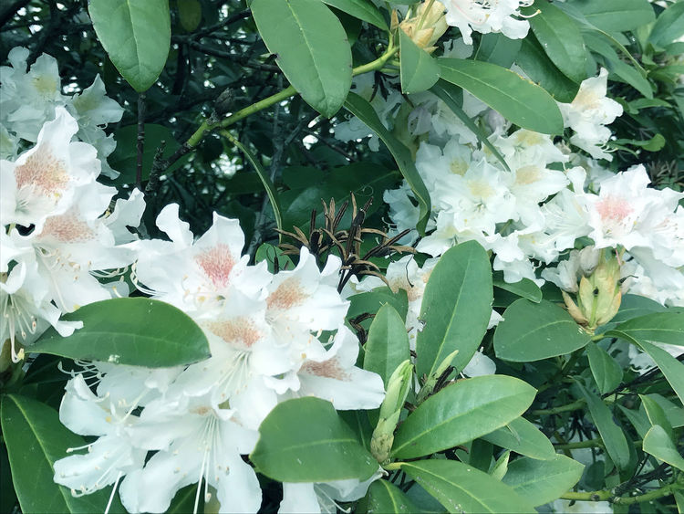 Rhododendron in the city park under spring Beauty In Nature Beauty In Nature Blooming Botanical Gardens Color Day Flower Flowers Fragility Freshness Grass Green Growth Leaf Nature No People Outdoors People Plant Rhododendron Rhododendrons Sea Spring Springtime Stock Image