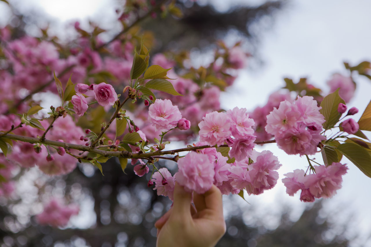 Beauty In Nature Blossom Branch Cherry Blossom Cherry Blossoms Close-up Day Flower Flower Head Fragility Freshness Growth Hanami Sakura  Nature No People Outdoors Petal Pink Pink Color Springtime Tree Twig