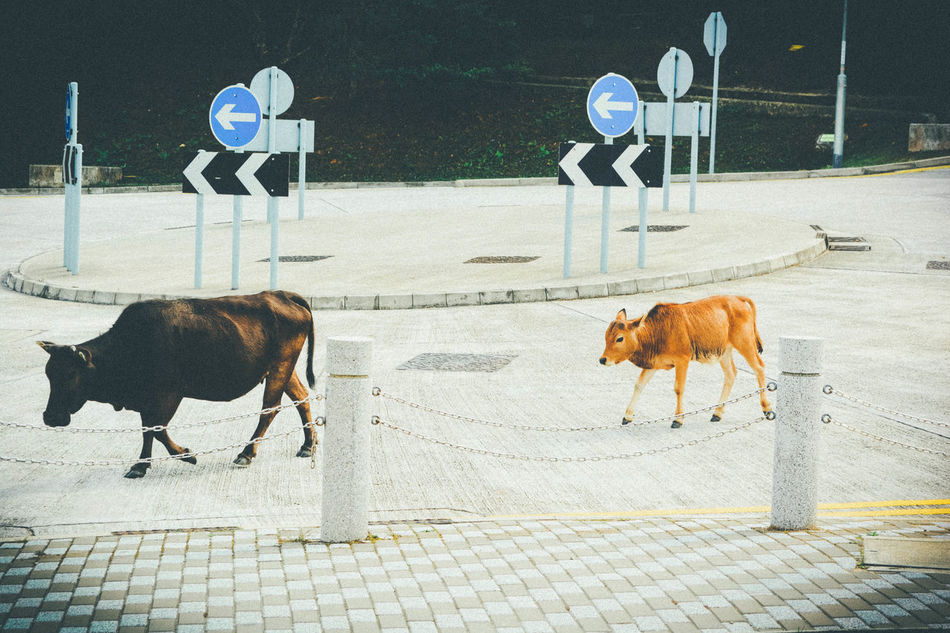 Beautiful stock photos of cow, Animal Themes, Auto Post Production Filter, Bizarre, City