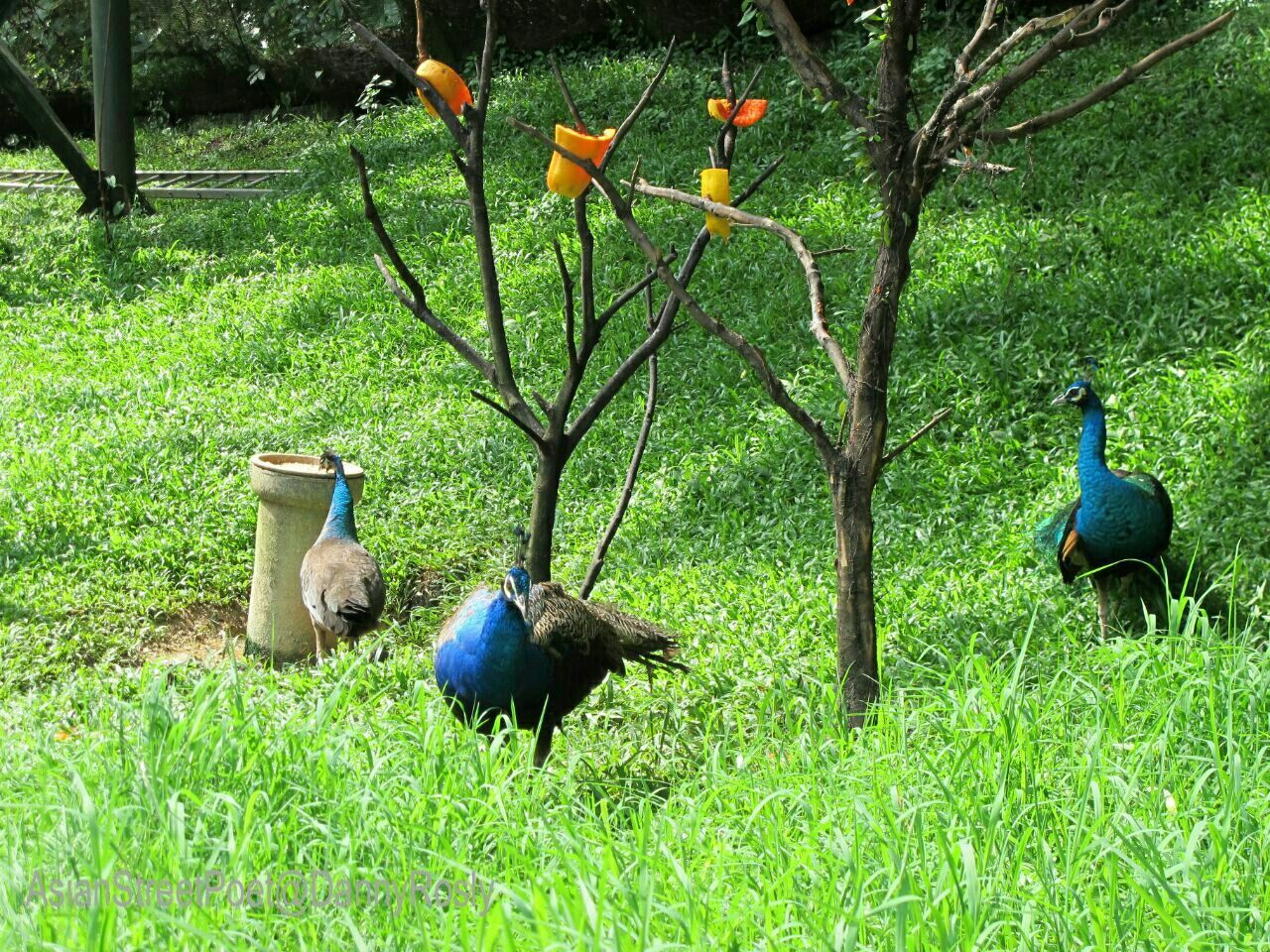 bird, animal themes, grass, green color, peacock, animals in the wild, nature, field, animal wildlife, outdoors, growth, day, no people, beauty in nature, plant, tree, peacock feather, perching
