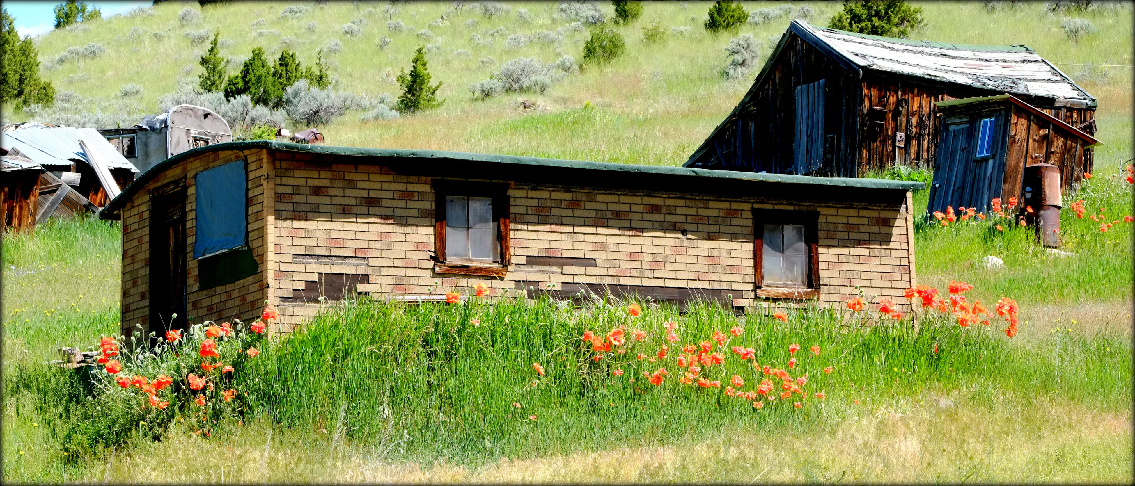 Cowboys hearding cattle Southwest, Montana USA. Ghost Town USA Gold Mining Town Miner's Cabin Old Buildings Outhouse Poppies In Bloom Poppy Flowers Spring Flowers Work Shop