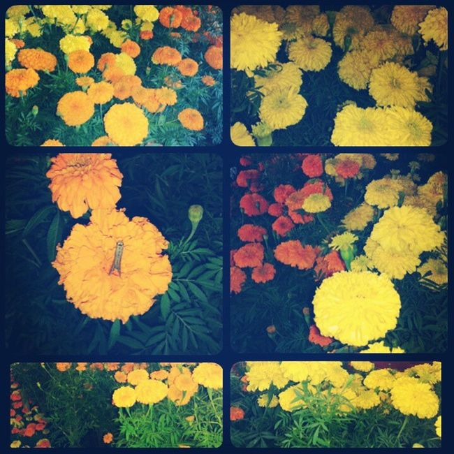 Multicolour Marigold Flowers Garden Winter Arrival Nature Beauty Instapic Follow_For_The_Follow .