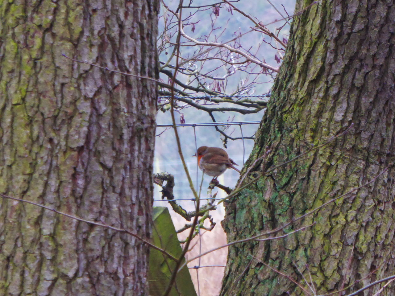 From the start this little lovely stayed with me & i enjoyed the company 🤗💕 Robin Robin Redbreast Bird Photography Bird Perching Tree Tree Trunk Nature Animal Themes No People Day Outdoors Beauty In Nature Animals In The Wild