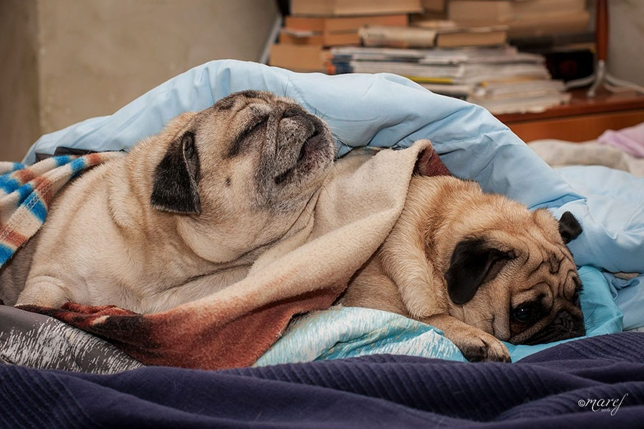 Ulisse and Mathilda Indoors  Relaxation Dog Pets Dreaming Domestic Animals Animal Themes Canonphotography Canon_official Tranquility The Week Of Eyeem Pugs EyeEm Gallery Pug Life  Carlino Puglover Pugsofinstagram Pug Carlino Cane Dog Puglove  Pillow Sleeping Bed Indoors  Torino