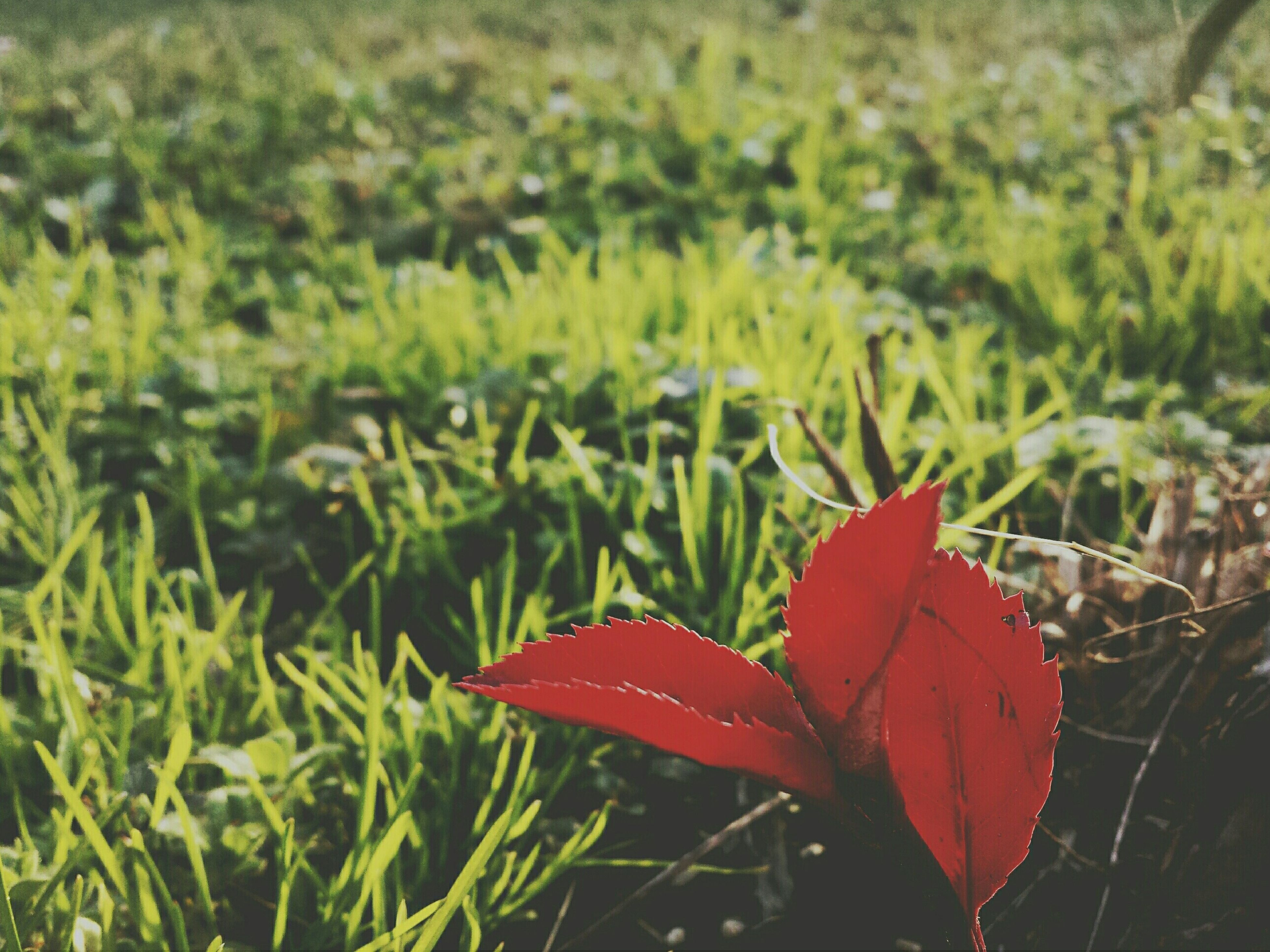 red, leaf, growth, nature, plant, beauty in nature, focus on foreground, green color, close-up, freshness, field, grass, autumn, fragility, tranquility, season, day, orange color, change, outdoors