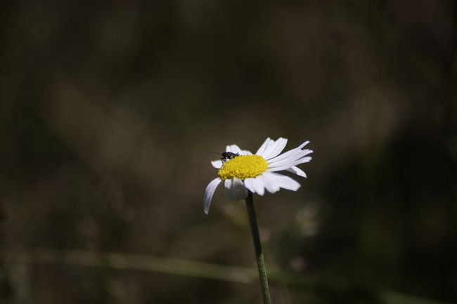 Beauty In Nature Botany Bug On A Flower Canonphotography Close-up Daisy Dark Background Darkness And Light Flower Flower Head Focus On Foreground Freshness Nature No People Outdoors Pollen Selective Focus Sigmalens White White Color