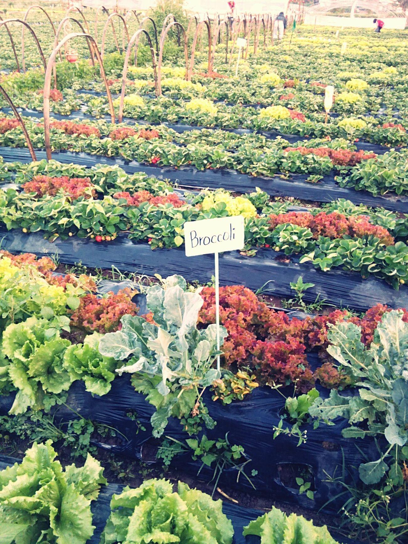 Farm Vegetables & Fruits Leafy Vegetable Colorful Leaves Farmlandscape Farmland
