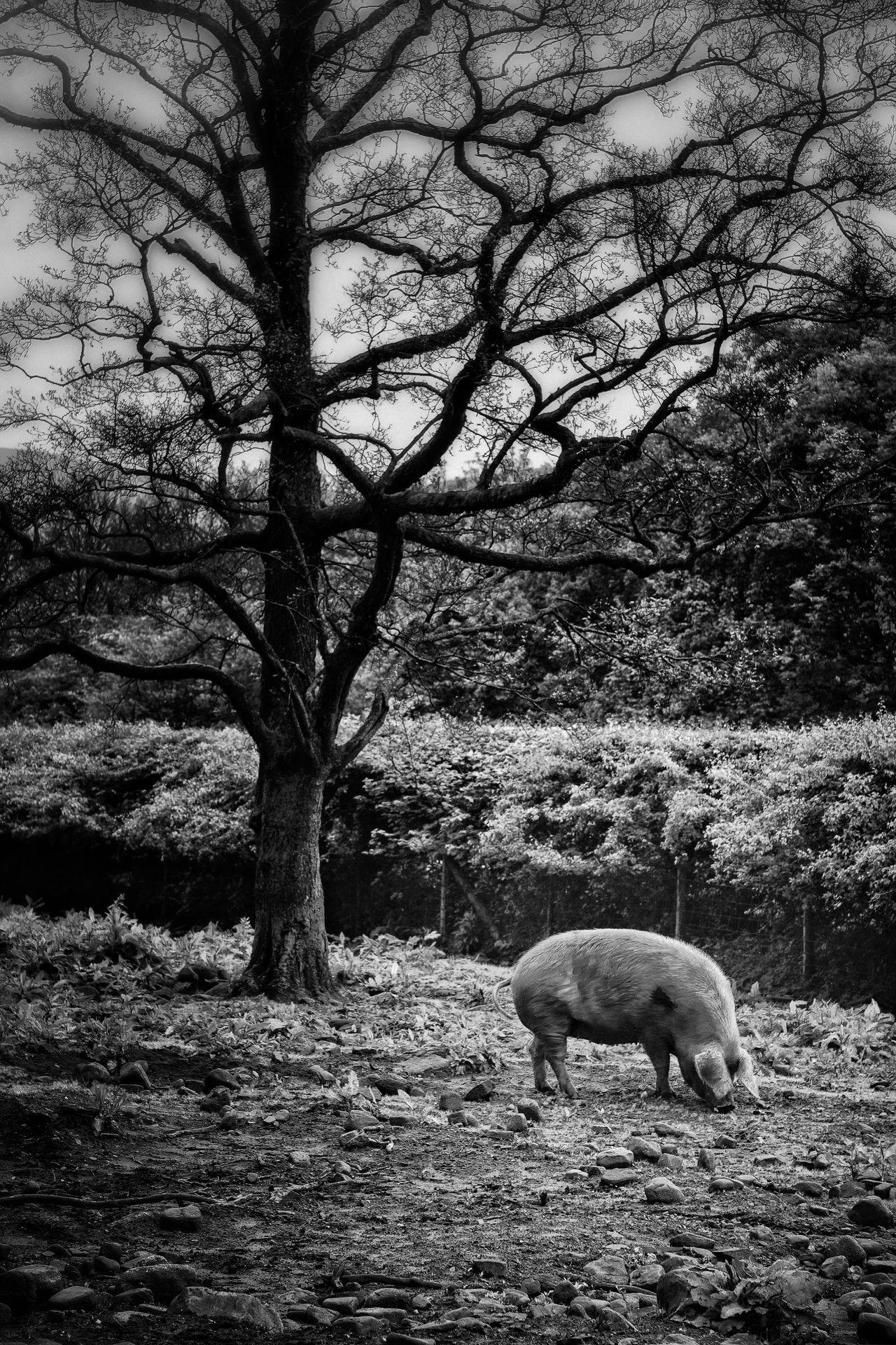 Pig Monochrome Black And White Photography Eye4photography  EyeEm Nature Lover Black & White Blackandwhite Photography Black And White Animal Animal Photography Animals Farm Animals Oink