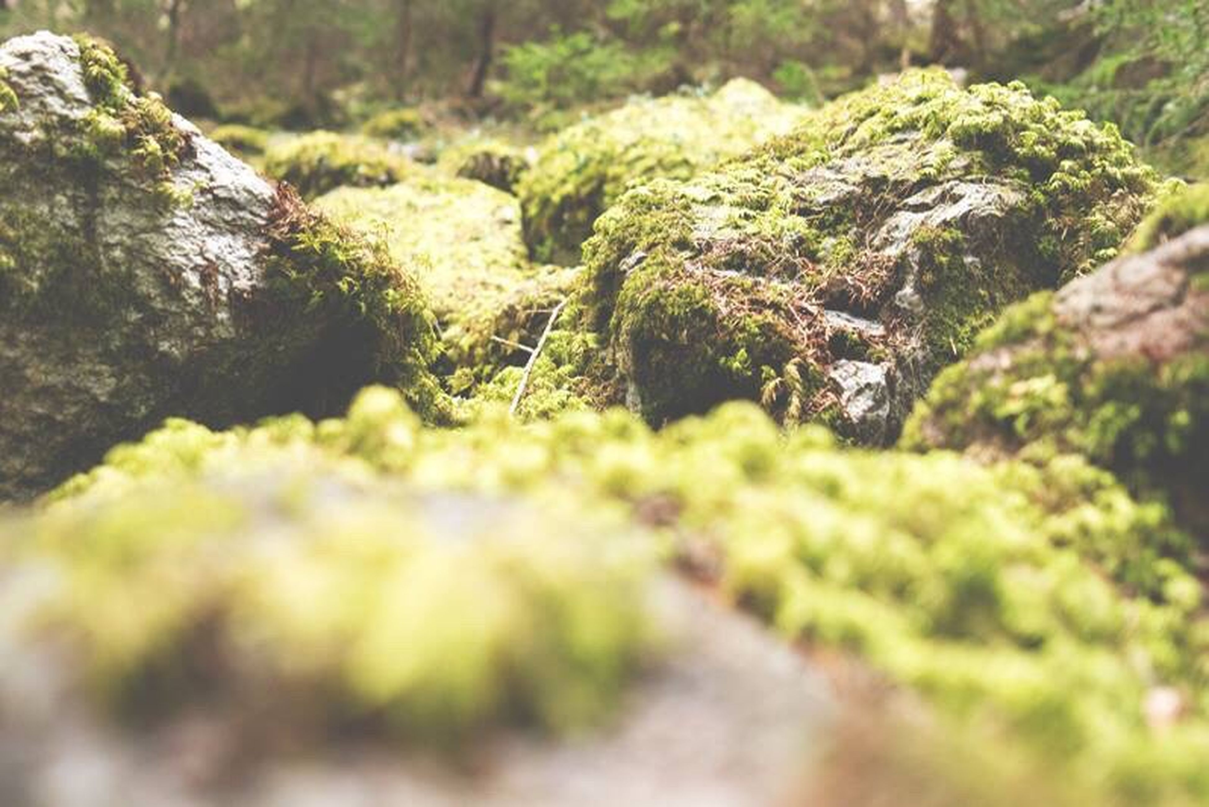 growth, nature, beauty in nature, selective focus, forest, tranquility, plant, tree, stream, tranquil scene, moss, green color, day, scenics, outdoors, no people, rock - object, surface level, flower, freshness