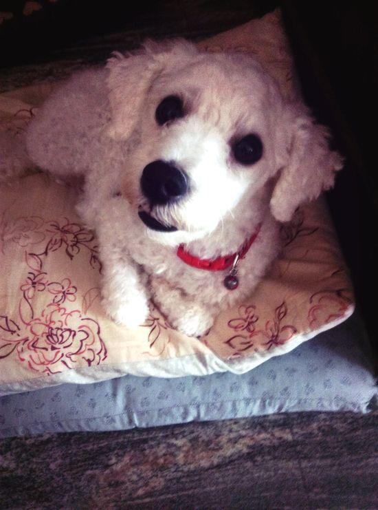 Poodle Toy Poodle  Whitepoodle Dog
