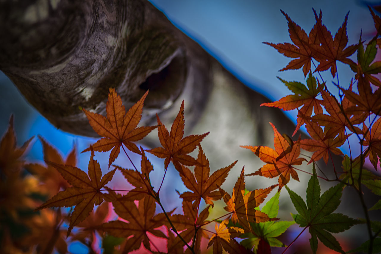 leaf, autumn, change, maple leaf, nature, beauty in nature, day, no people, growth, outdoors, plant, close-up, maple, fragility, water, sky, tree