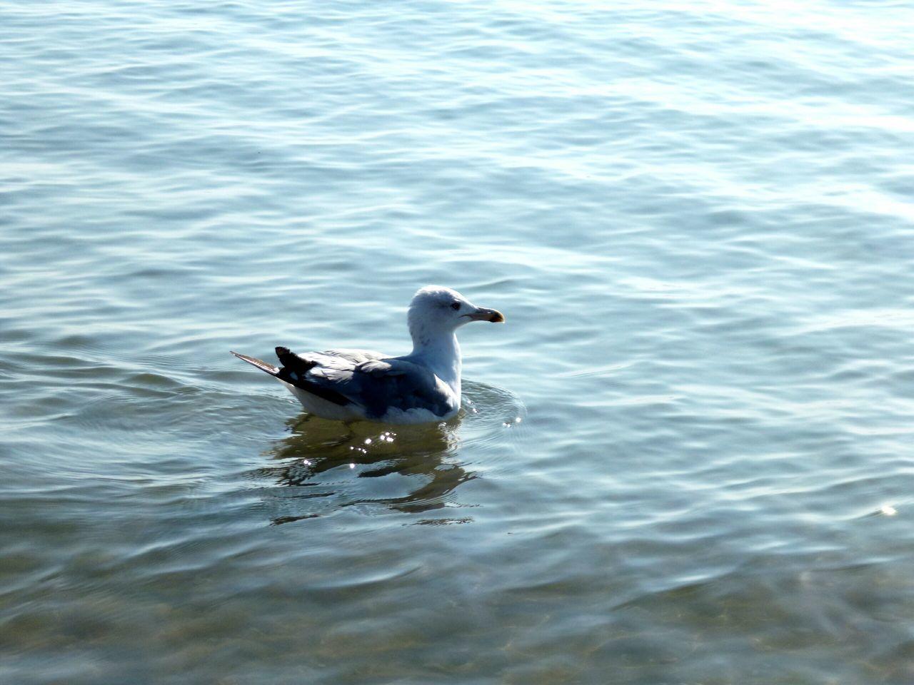 Seagull Swimming On Sea