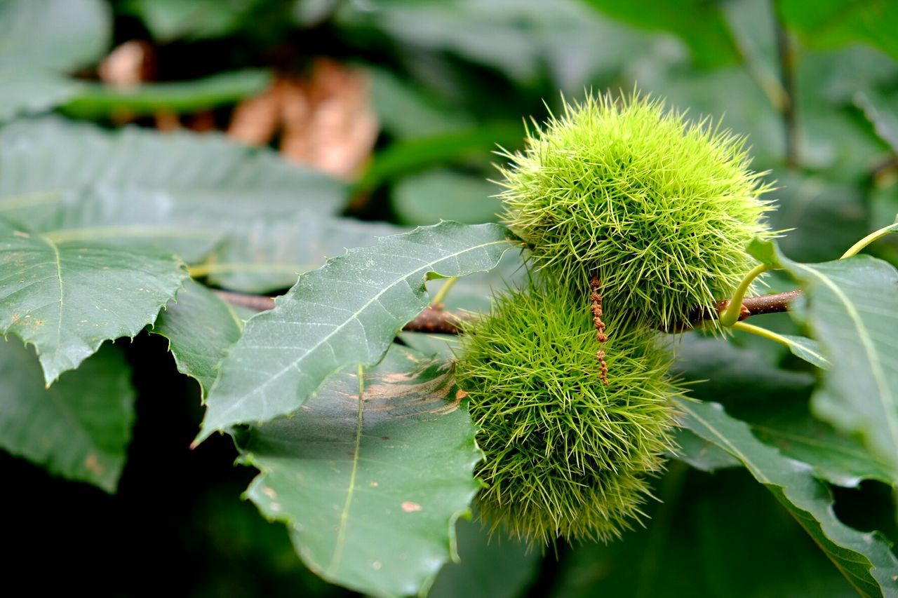 Close-Up Of Two Chestnuts On Branch