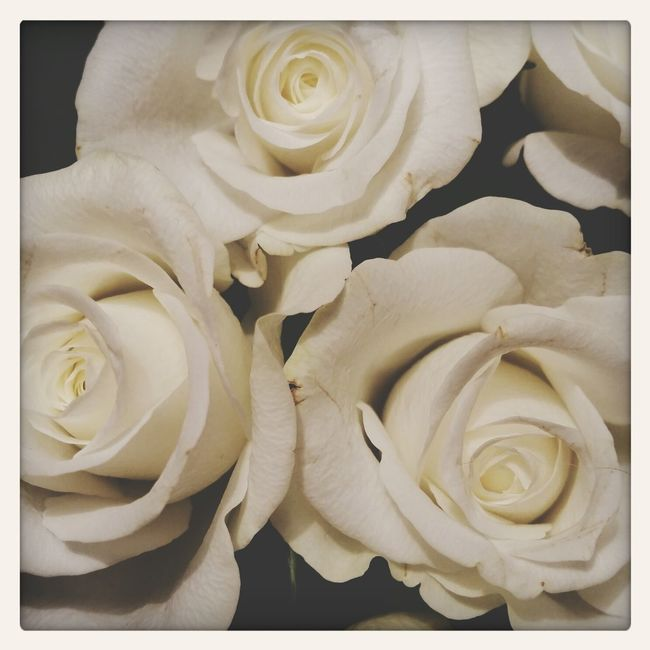 Roses from my love. From My Love ♡♡ Flowers White Album Flower