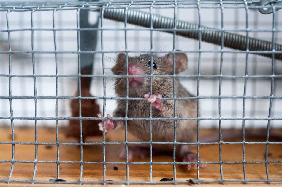 Beautiful stock photos of mouse, Alzey, Animal Themes, Cage, Captivity