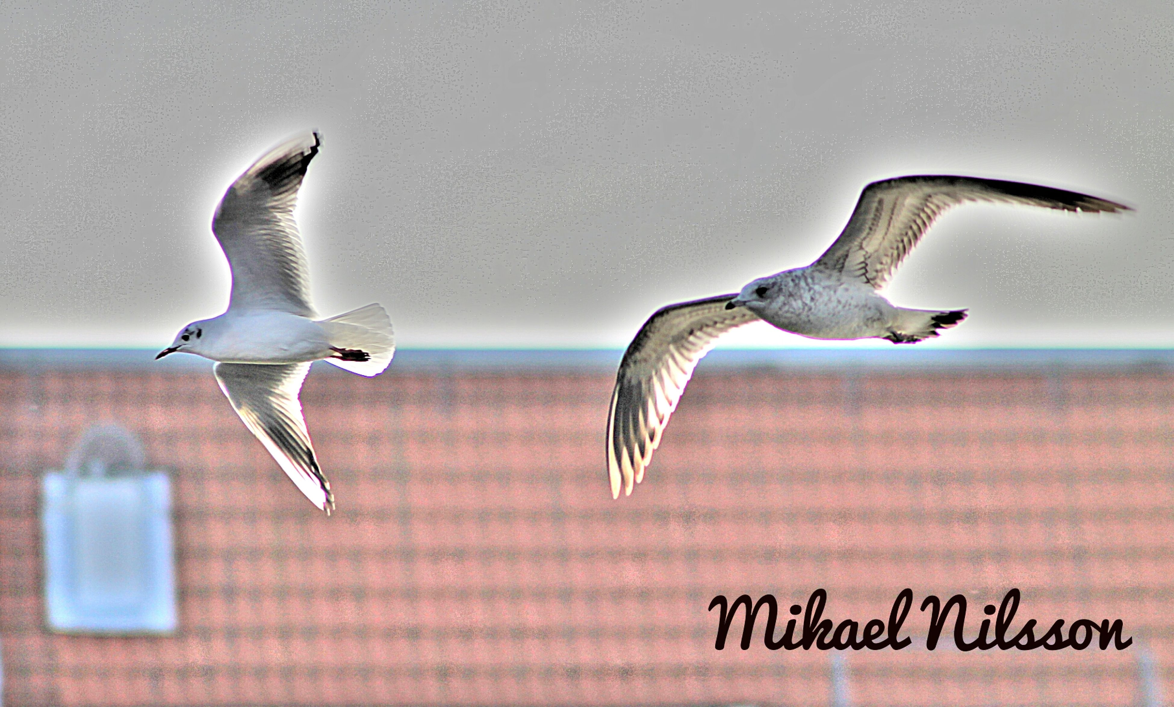 animal themes, bird, animals in the wild, flying, wildlife, spread wings, seagull, one animal, mid-air, nature, no people, zoology, low angle view, pigeon, outdoors, two animals, full length, animal wing, close-up, day