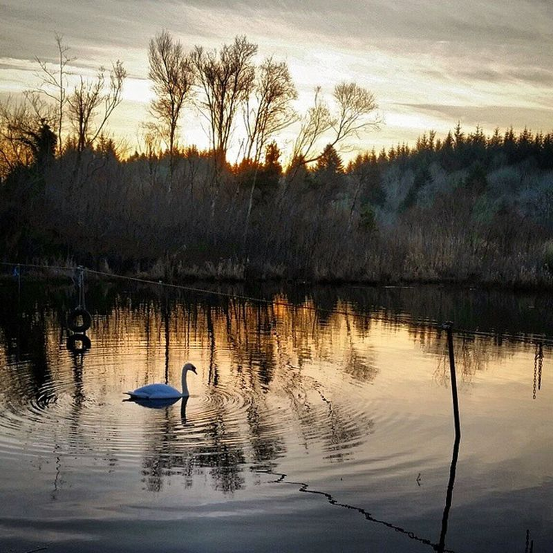 Just me and the swan Sunset Goldenhour Light Nature Countryside Wintersun Timetomyself Recharge Countrywalks Ireland Lake Beautiful Nofilter WestOfIreland Connemara Scenery