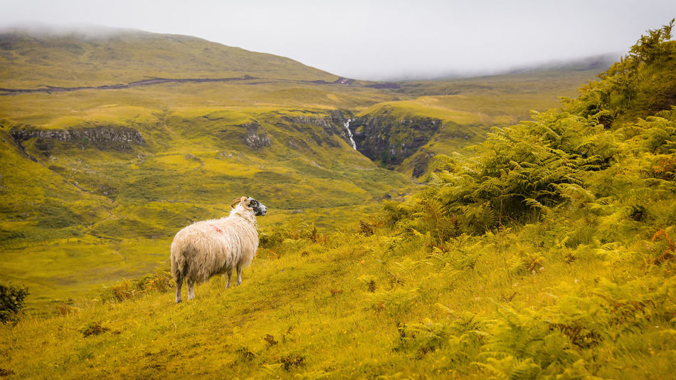 Beautiful stock photos of sheep, Fairy, Fog, Full Length, Horned
