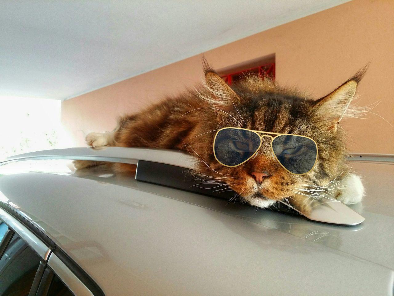 Beautiful stock photos of funny animal, Animal Themes, Aviator Glasses, Brown, Car