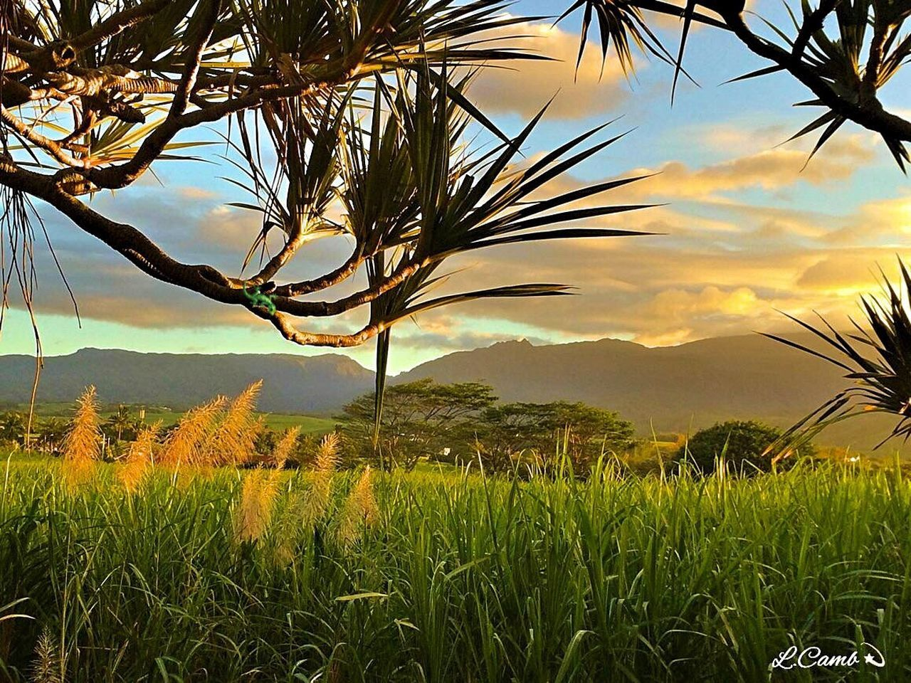 Champ de canne à sucre Ileintense Flower Nature Ile Intense Savane Landscape Braspanon Lareunion974 Canneasucre Sunset Vacoa