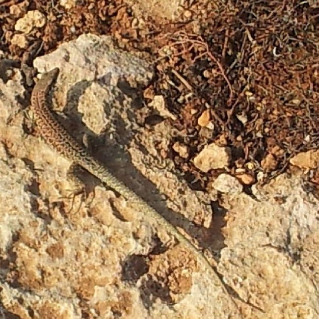 Nature Comino Visitcomino Lizard shadow