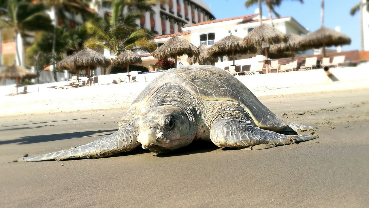 Beach One Animal Animals In The Wild Animal Wildlife Sea Mammal Turtles In The Sun Turtlebeach Mexico's Sights