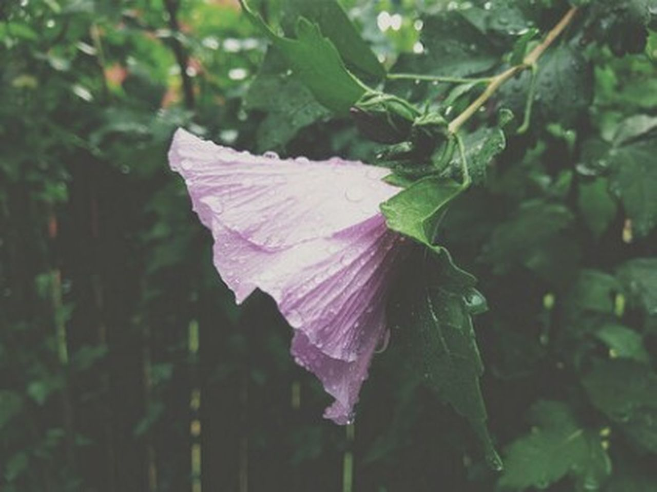 Caught in the Rain! Htc10 Mobile Photography Rose Of Sharon Rain Waterdrops Flower Flowers Floral Florals Flower Collection Floralperfection Flower Photography Flowers, Nature And Beauty VSCO Vscocam Nature Photography
