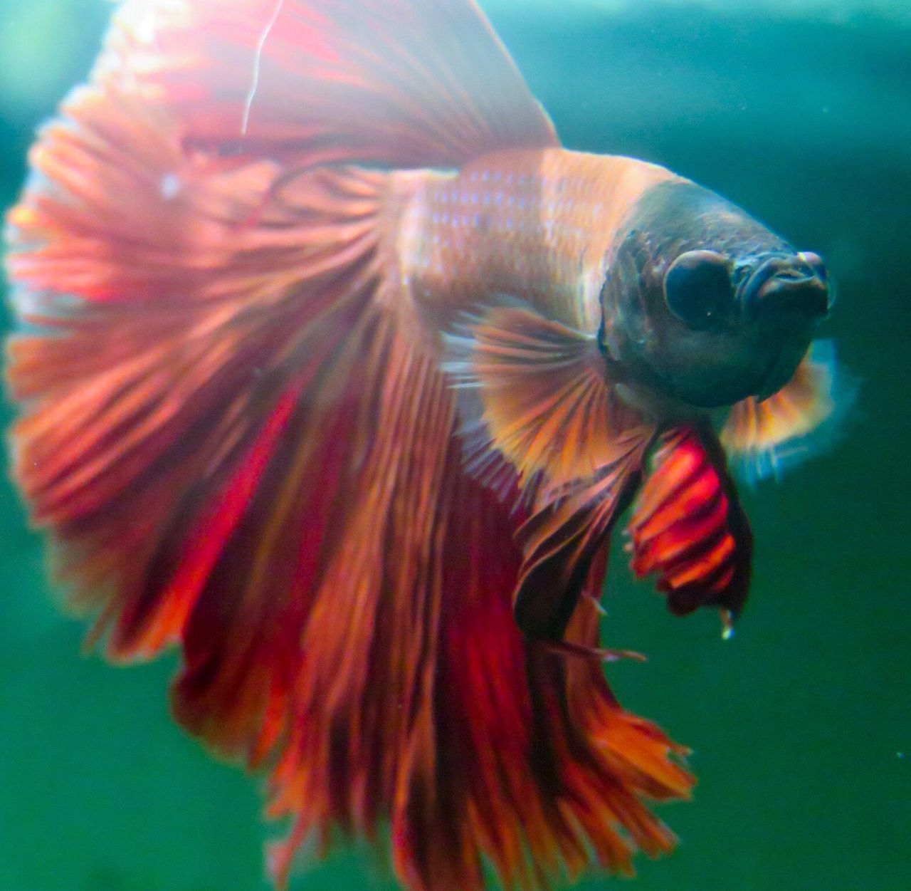 Betta  Red Aquarium Aquarium Life Male Bettafish Bettafishcommunity Betta Fish Betta Lovers Fish