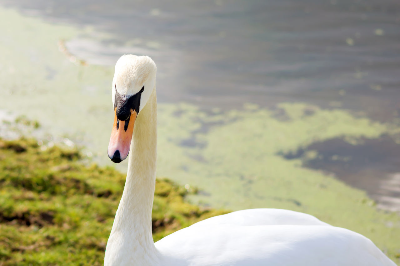 animals in the wild, animal themes, one animal, bird, focus on foreground, white color, lake, animal wildlife, swan, beak, day, nature, close-up, outdoors, water bird, no people, water, beauty in nature