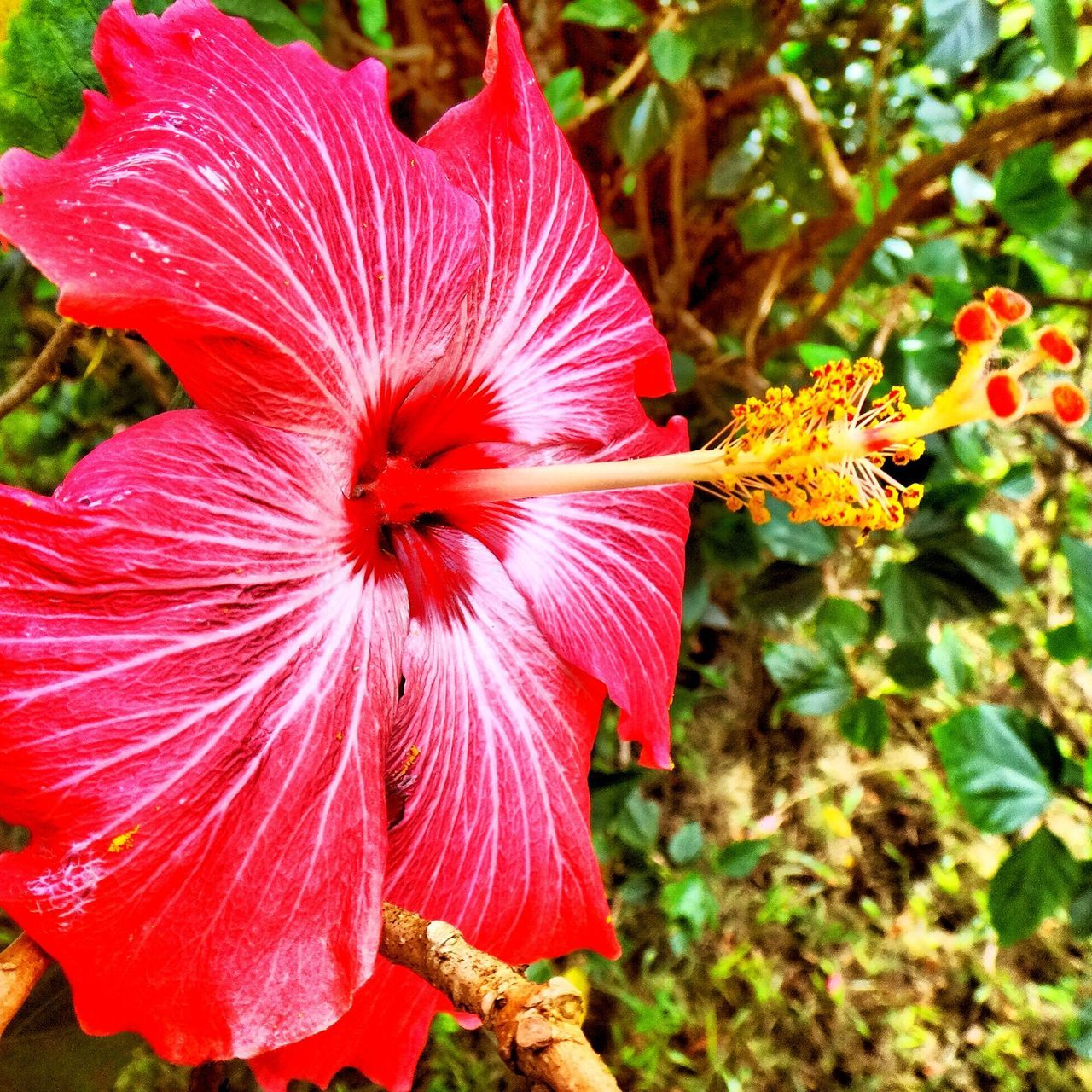 flower, fragility, nature, growth, leaf, petal, flower head, red, close-up, beauty in nature, hibiscus, day, outdoors, stamen, no people, freshness, plant, day lily