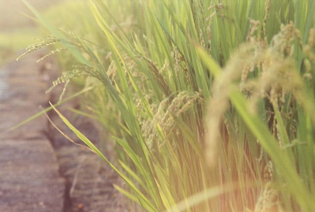 43 Golden Moments Rice Field Rice Farm Farm Life 35mm Film フィルム Film Is Not Dead Agriculture Farmland Nature Enjoying The Sun Sunset Sunlight Green Nature Golden Slumbers Showcase July