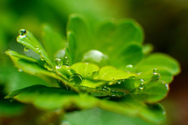 Making the most of a rainy week. Rain drop beads on new leaves. Water Drops Nature Photography Naturelovers Nature Outdoors Green Growth Beauty In Nature Green Color RainyDays Newleaves Green Leaves Water Droplets Beads Of Water