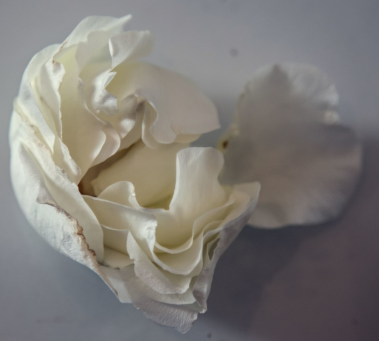 Beauty In Nature Blooming Close-up Day Flower Flower Head Fragility Freshness Growth Indoors  Nature No People Petal Rose - Flower Rose Petals Studio Shot White Color