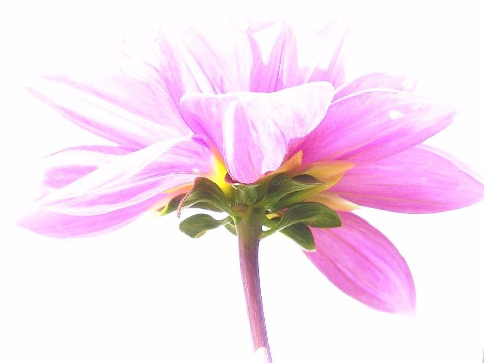 淡い花びら flower (null)