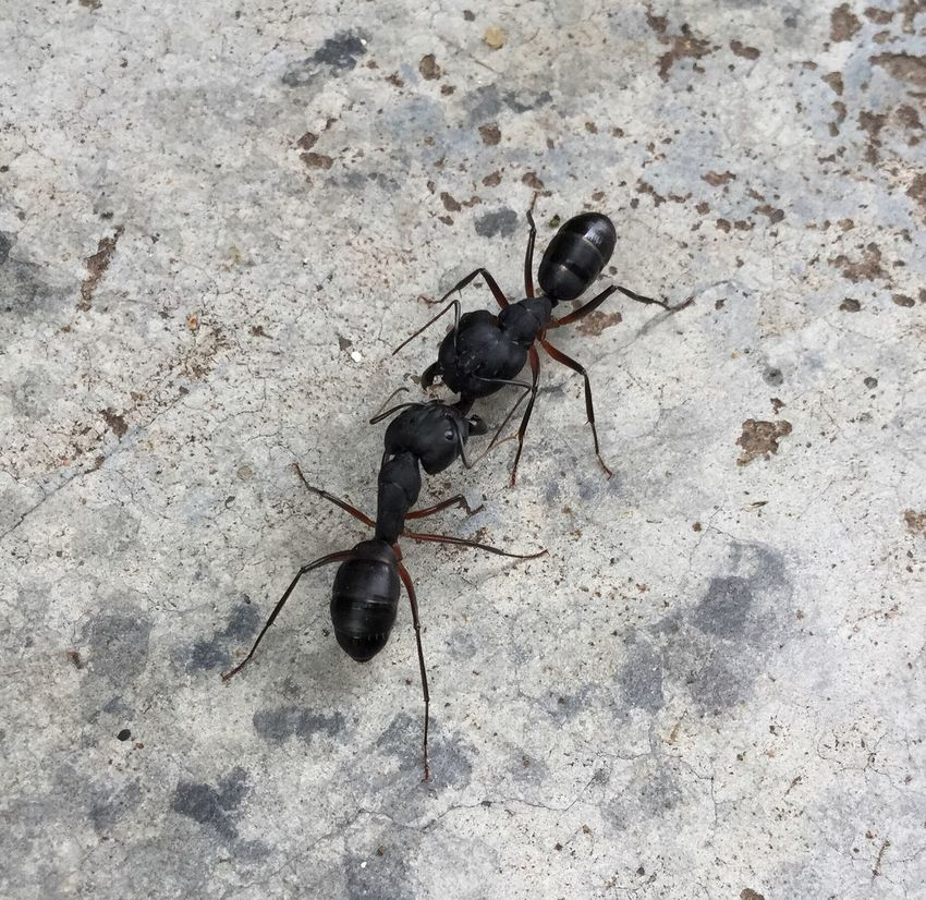 Animal Themes Animals In The Wild Wildlife Insect One Animal Ant High Angle View Black Color Close-up Bug Zoology Beetle Arthropod Invertebrate Crawling Animal Behavior Outdoors No People Pest Footpath Say Click Ant View