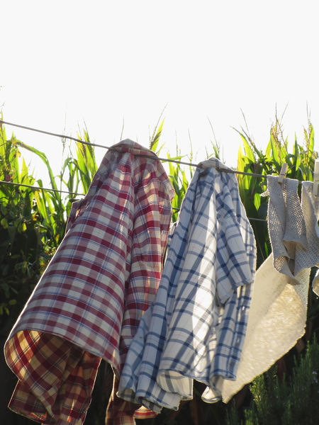 Men's shirts and rags blowing in wind hanging on clothesline with cornfield background Blank Blowing Clean Clothes Clothes Peg Clothesline Clothespin Clothing Cornfield Drying Fashion Foliage Front View Garment Hanging Label Laundry Marketing Nature Rag Scented Shirt Sleeved Washing Wind