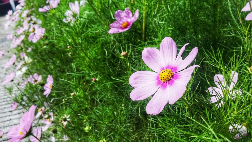 Flower Petal Pink Color Beauty In NatureNature Nightshot Growth Fragility Flower Head Grass Freshness No People Plant Day Outdoors Pollen Stamen Field Close-up Cosmos Flower Blooming