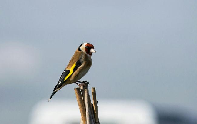 Gold Finch Bird Photography Animals In The Wild Bird Wildlife Outdoors Animals Colourful