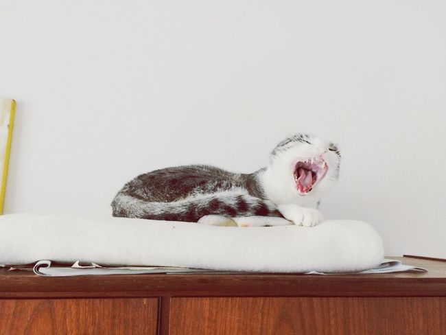 Domestic Cat Pets Yawning Animal Themes One Animal Mouth Open Domestic Animals Feline Indoors  No People Relaxation Day