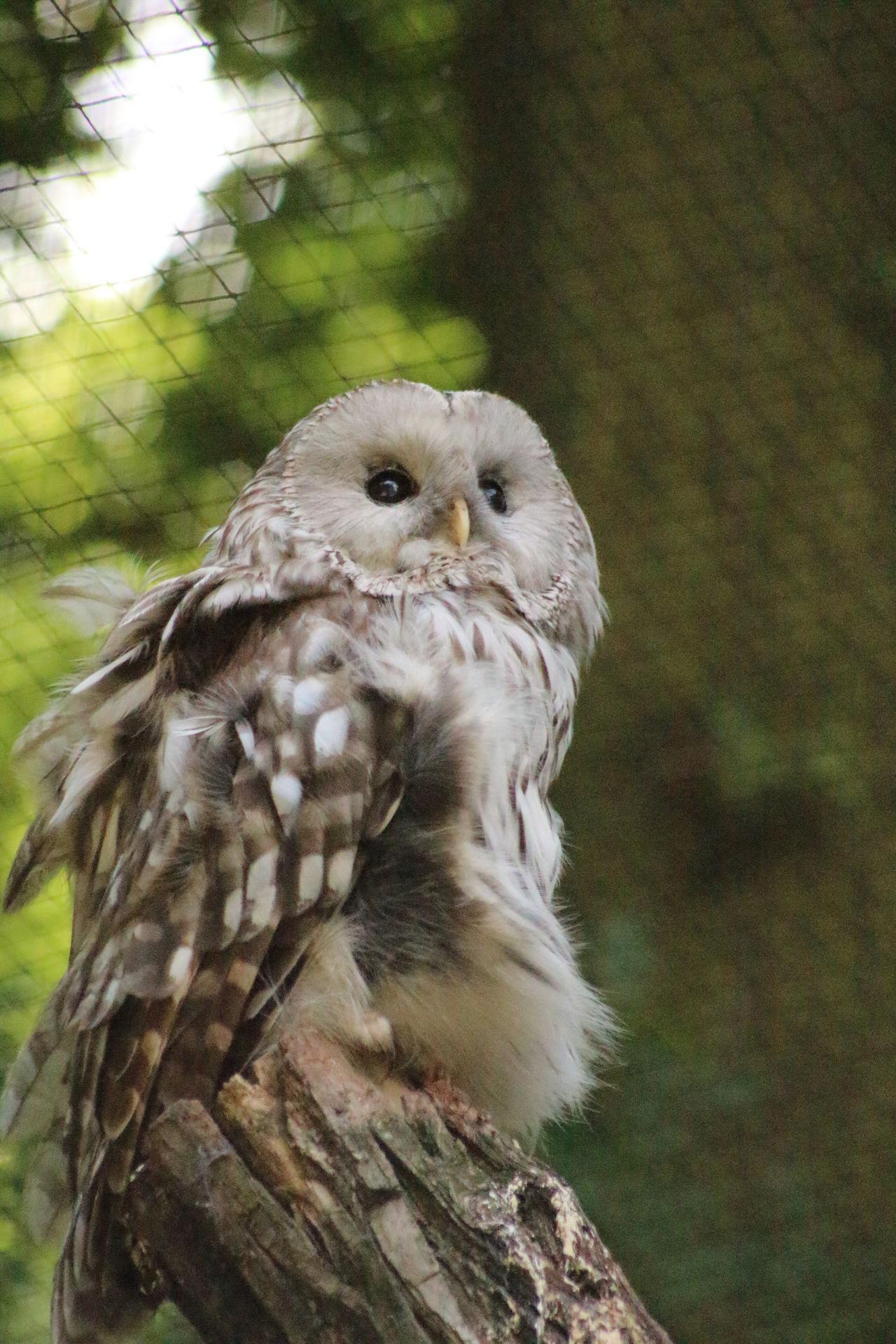 Beautiful stock photos of owl, Alertness, Animal Themes, Bird, Captivity