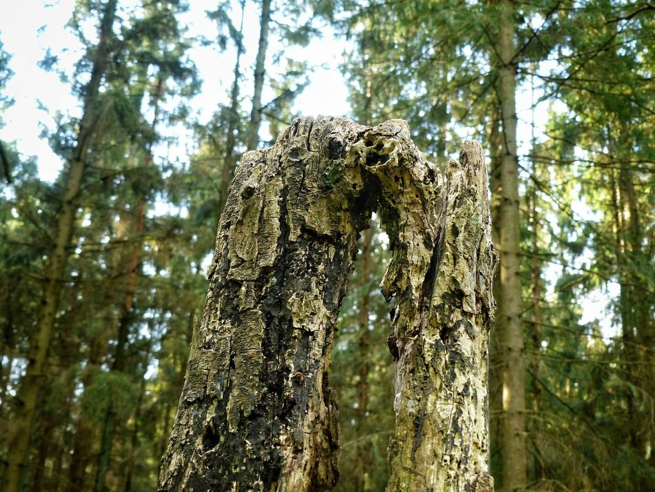 Tree Forest Tree Trunk Day Outdoors Beauty In Nature No People Inspection Wood Wood - Material Wood Art Outside Photography Art Photography Eyeemphotography Close Up Photography From My Point Of View Landscape Photography Landscape Nature Photography [