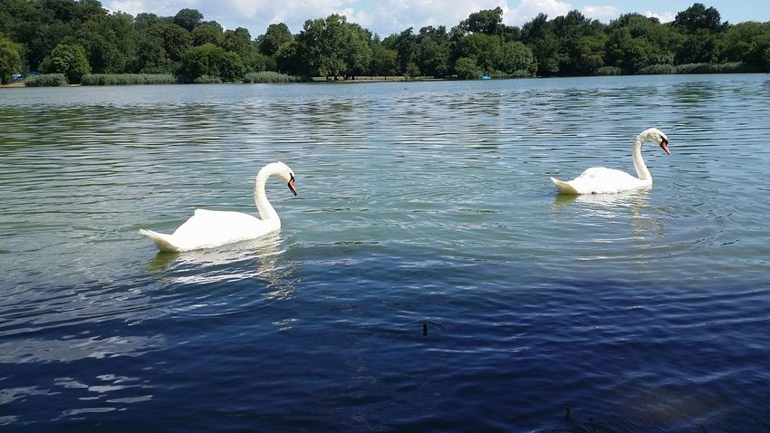 Creative Light And Shadow EyeEm Best Shots Reflections Nature Clear Sky Green Blue Water Swans