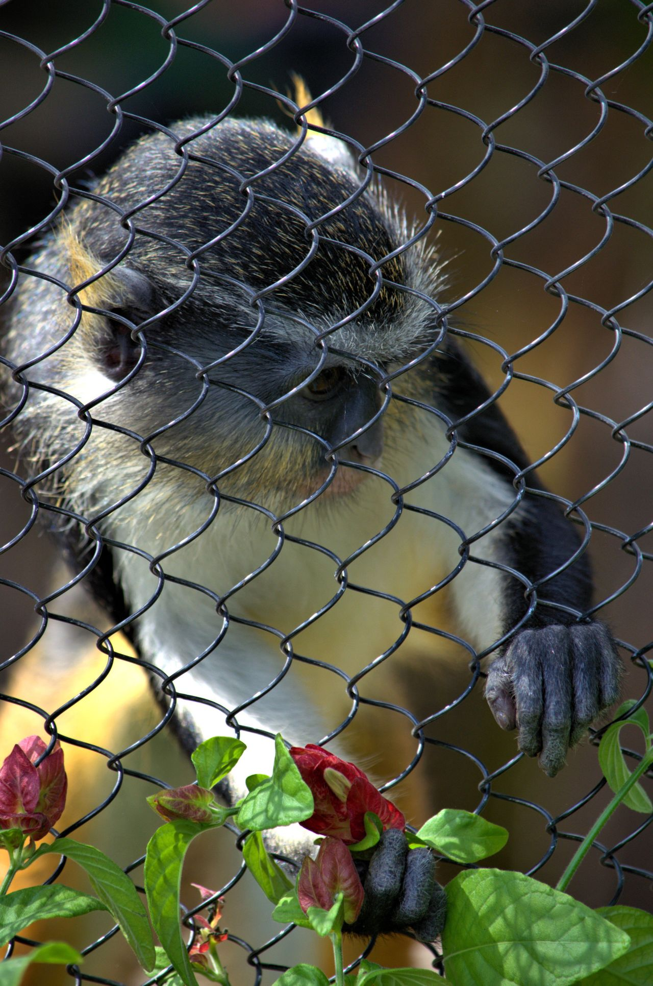 Cage Chainlink Fence Animals In Captivity Mammal San Antonio Zoo San Antonio, Texas Zoo Animal
